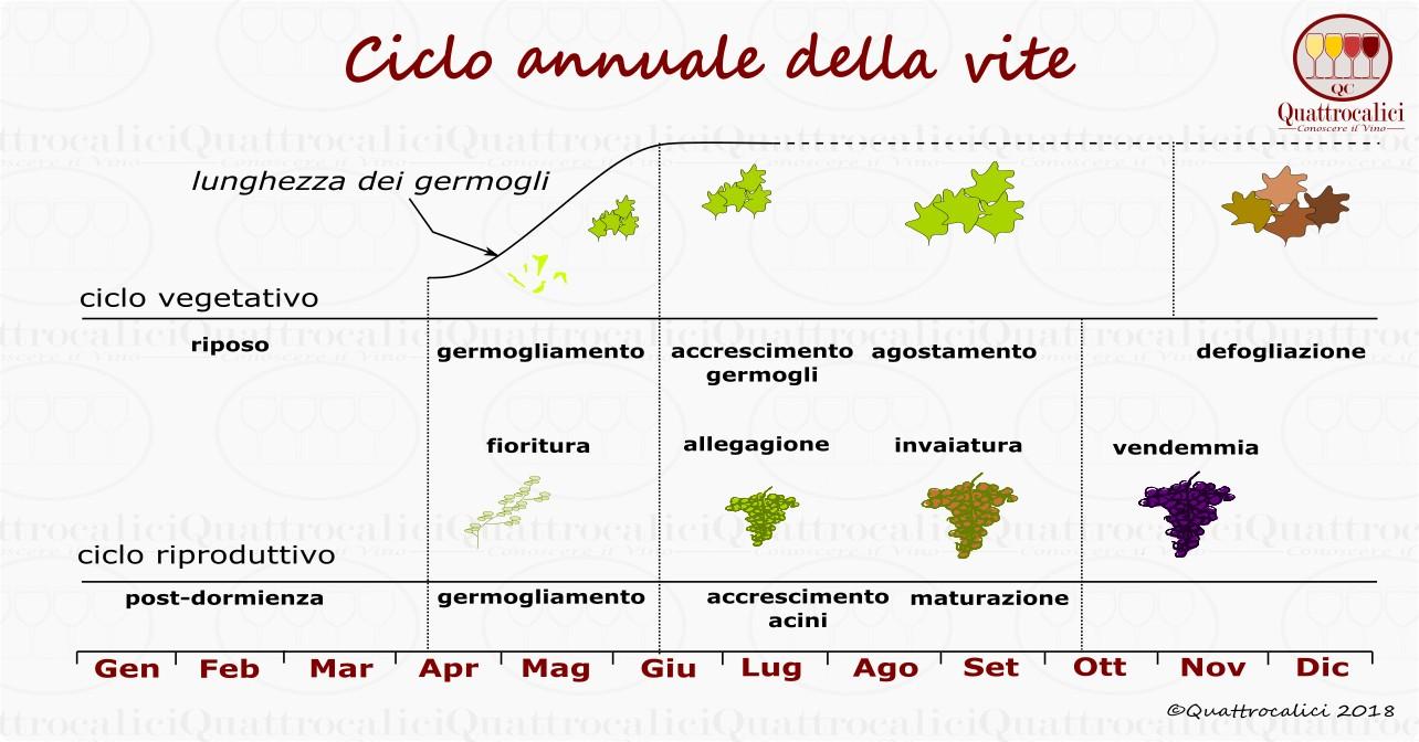 ciclo-annuale-vite