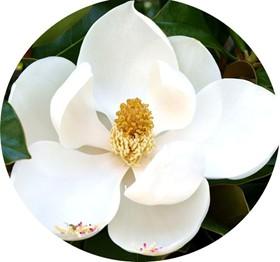 Il profumo di fiori di magnolia nei vini