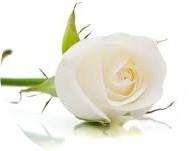 Il profumo di rosa bianca nei vini