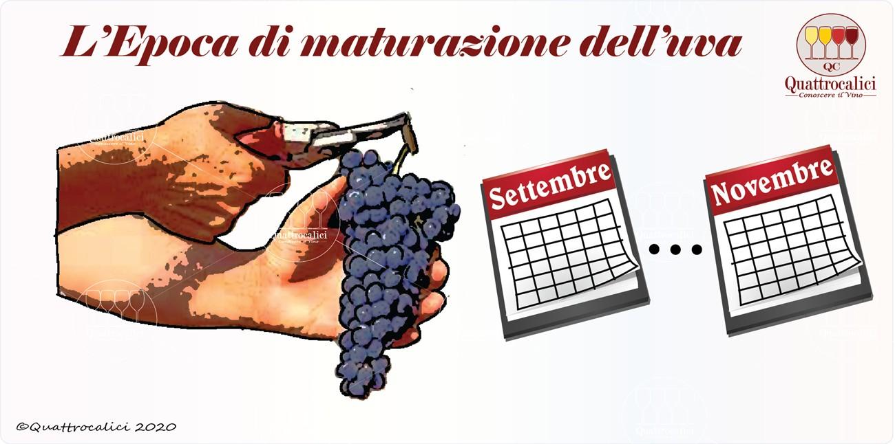 epoca maturazione uva