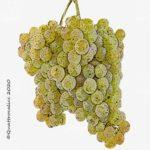 vitigno alvariño