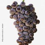 moschofilero vitigno