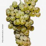 savatiano vitigno