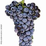 xinomavro vitigno