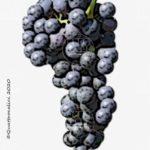 carignan vitigno