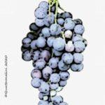 cinsault vitigno