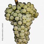 colombard vitigno