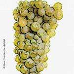 furmint vitigno