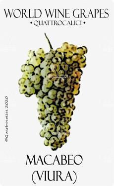 vitigno macabeo