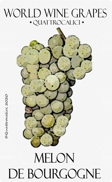 melon de bourgogne vitigno