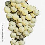 picpoul vitigno