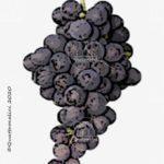 pinotage vitigno