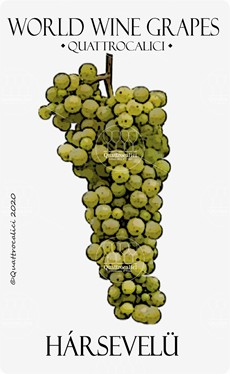 harsevelu vitigno