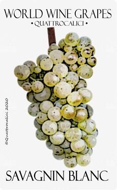 savagnin blanc vitigno