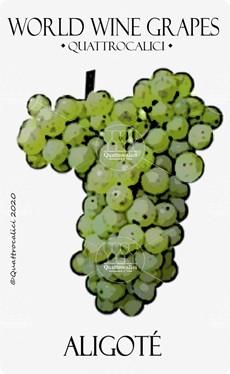 aligote vitigno