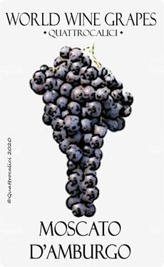 moscato d'amburgo vitigno