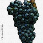 ancellotta vitigno