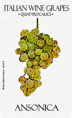 ansonica vitigno