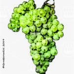 barbera bianca vitigno