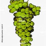 bellone vitigno