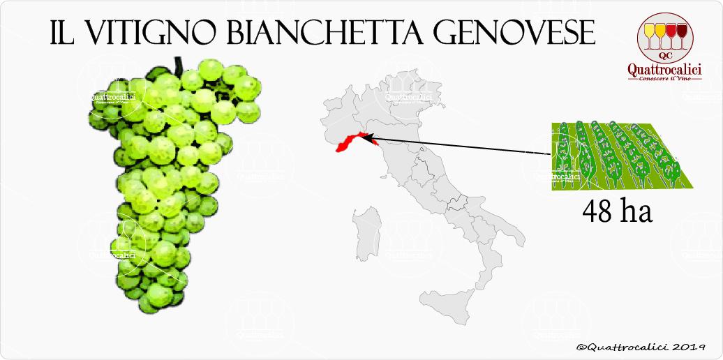 vitigno bianchetta genovese