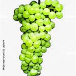 bianchetta genovese vitigno