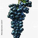 bonamico vitigno