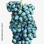 bovale vitigno