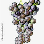 bovale grande vitigno