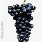 brachetto vitigno