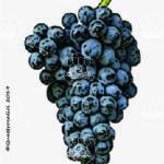 cannonau vitigno