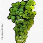 catarratto bianco lucido vitigno
