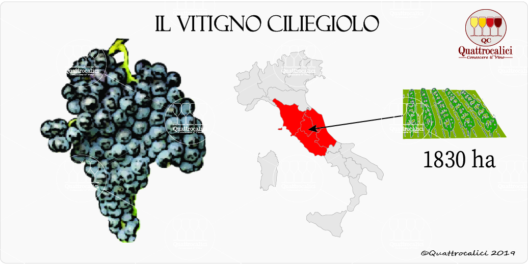 vitigno ciliegiolo