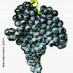 ciliegiolo vitigno