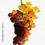 erbaluce vitigno