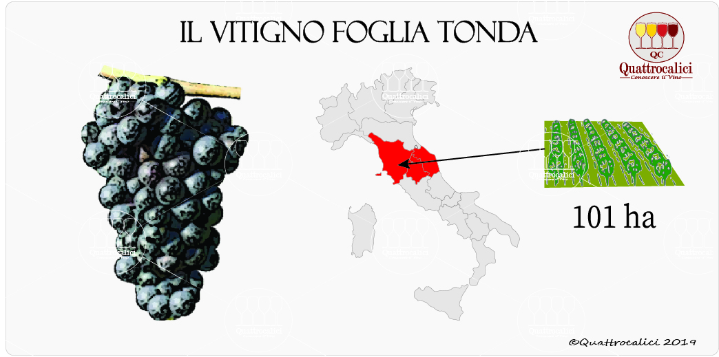 vitigno foglia tonda