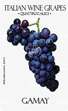 gamay vitigno
