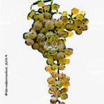 garganega vitigno