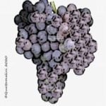grenache vitigno