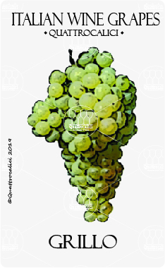 grillo vitigno