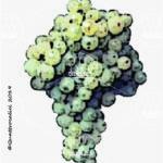 incrocio manzoni 2-3 vitigno