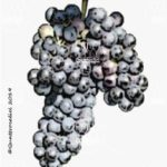 lambrusca di alessandria vitigno