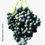 lambrusco montericco vitigno