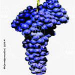 lambrusco salamino vitigno