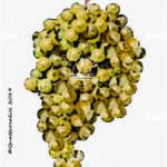 malvasia di candia aromatica vitigno