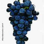 malvasia nera di basilicata vitigno