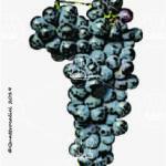 mayolet vitigno