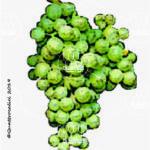 müller-thurgau vitigno