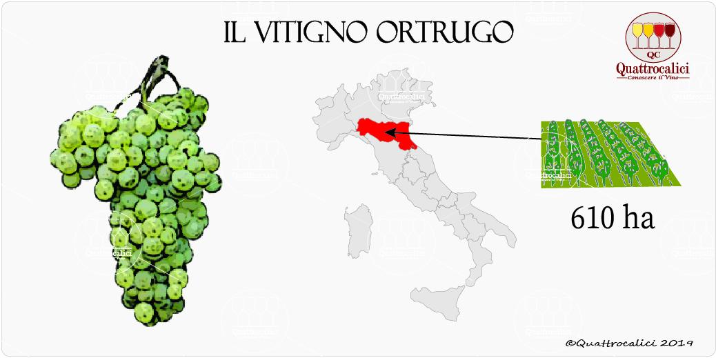 vitigno ortrugo