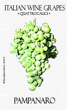 pampanaro vitigno